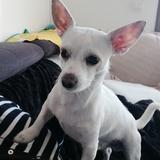 Perrete (Chihuahua)