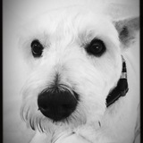 Chalky (West Highland White Terrier)