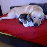 Bimba - Labrador Retriever