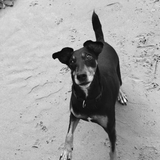 Crazy (Manchester Terrier)