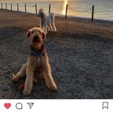 Aran (Airedale Terrier)