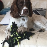Rory  (English Springer Spaniel)