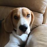 Milo (Beagle)