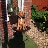 Sophie (Beagle)