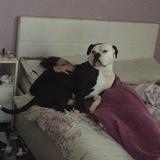 Mason blaks - American bulldog