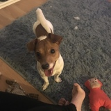 Roo (Jack Russell Terrier)