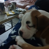 Nala (Boxer)