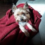 Pepiña (Yorkshire Terrier)