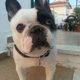 Patan - Bulldog Francés