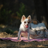 Duna (Chihuahua)