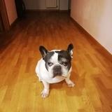 Nano - Bulldog Francés