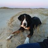 Hugo  (Grosser Schweizer Sennenhund)