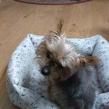 Sultán - Yorkshire Terrier