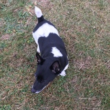 Dave (Jack Russell Terrier)