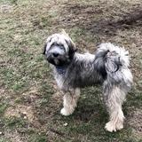 Teddy (Tibet Terrier)