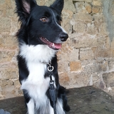 Argi - Border Collie