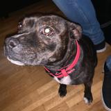 Sansa (Staffordshire Bull Terrier)