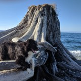 Hova (Australian Shepherd)