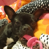 Pepa (Boston Terrier)