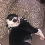Oscar (Amerikanische Bulldogge)