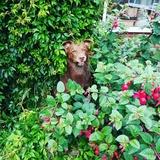 Fred (Australian Kelpie)