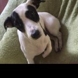 Happy - Jack Russell Terrier