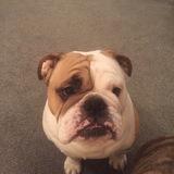 Stan  - English Bulldog