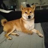 Kora (Shiba Inu)