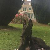 Jet (Greyhound)
