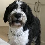Henry (Australian Shepherd)