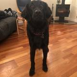 Dyson (Flat Coated Retriever)