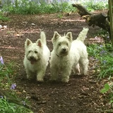 Lucy (West Highland White Terrier)