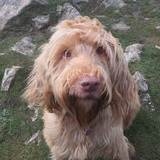 Scrumpy (Wirehaired Vizsla)