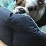Manzana (Bulldog Anglais)