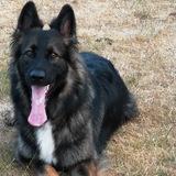 Mocha (German Shepherd Dog)