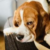 Toby (Beagle)