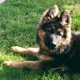 Miss Remedy  (German Shepherd Dog)