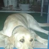 Lolo - Labrador Retriever
