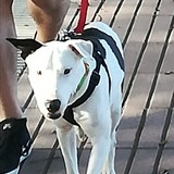 Thais (Bull Terrier)