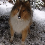 Benji (Rough Collie)