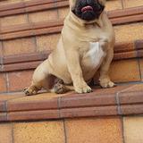 Borja (Bulldog Francés)