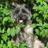Rosie (Cairn Terrier)