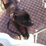 Torete (Staffordshire Bull Terrier)