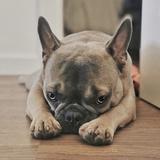 Pancho - Bulldog Francés