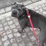 Grey (Shar Pei)