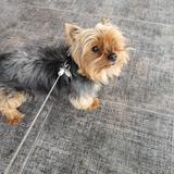 Txispi (Yorkshire Terrier)