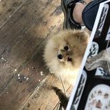 Lego (Pomeranian)