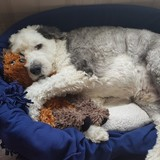 Bosley (Old English Sheepdog)