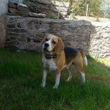 Jo ( Beagle Harrier)