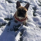 Milo (French Bulldog)